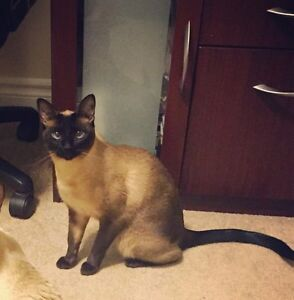 LOST SIAMESE CAT!
