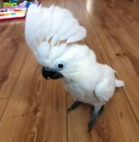 (2)18 Months Old African Grey & Ducorps Cockatoo.Please Text