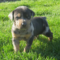 ONLY 3 BEAUTIFUL CATAHOUL BULLDOGS LEFT!!