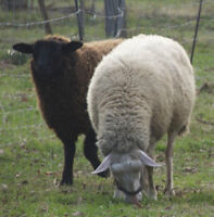 large young RAM for RAMADAN also several female sheep