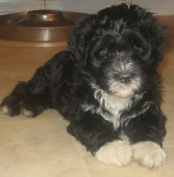 Portuguese Water Dogs PUPPIES!