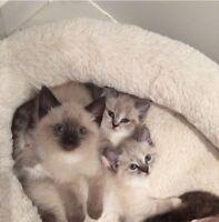 6 Cutie Siamese Ragdoll Kittens - Love <3 (only 2 kittens left)