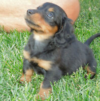 MINI LONG-HAIRED DACHSHUND PUPPIES (ONE BOY LEFT)