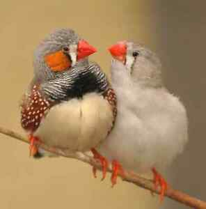 Breeding zebra finches pair