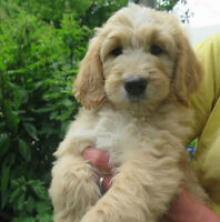 Goldendoodle pups and a Bernedoodle  for sale!!