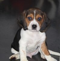 9 BEAUTIFUL BEAGLE PUPPIES...just one malepuppy left!