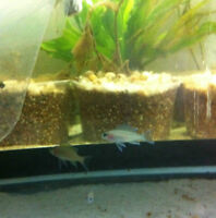 4 Daffodil Cichlids CHEAP