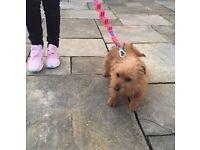 Yorkie x chihuahua girl puppy