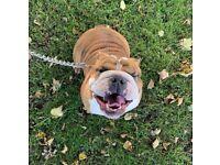Female British bulldog for sale