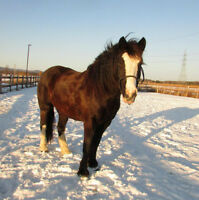 Clydesdale/Canadien