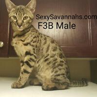 STUNNING F3 Male Savannah Kitten