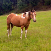 2000 APHA buckskin tobiano mare by Qts Paw Prints