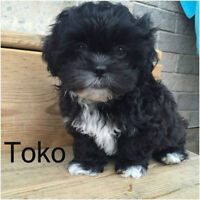 Maltese/Shihtzu Puppies Adorable/Cute,READY 4 THEIR NEW HOME