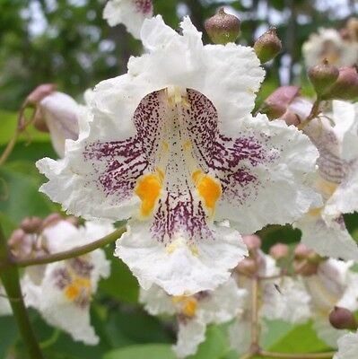 50 NORTHERN CATALPA TREE Indian Cigar Flower -