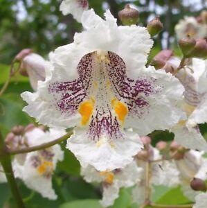 50 NORTHERN CATALPA TREE Indian Cigar Flower Seeds