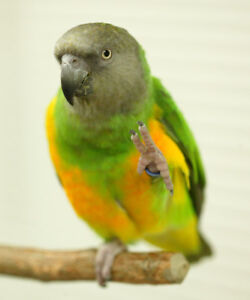 BABY SENNGAL PARROT VERY FRIENDLY FOR SALE only one left