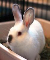 "Young Female Rabbit - Californian: ""Clover"""