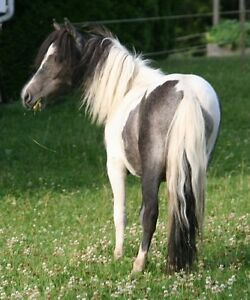 Registerd miniature mare