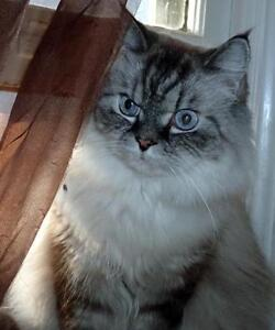 """Adult Male Cat - Himalayan: """"Quincy"""""""
