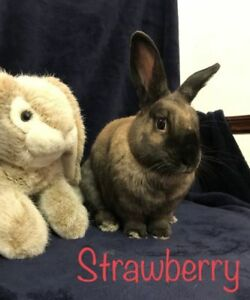 "Adult Female Rabbit - Himalayan: ""Strawberry"""