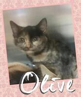 "Young Female Cat - Domestic Short Hair-Tortoiseshell: ""Olive"""
