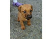 8week old Lakeland terrier