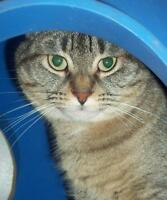"Adult Female Cat - Tabby - Brown: ""Daphne"""