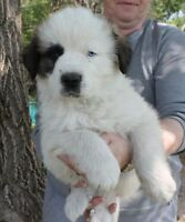 SAINT BERNARD & GREAT PYRENEES PUPPIES **LAST BOY**