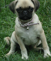 REG. FAWN PUG PUPPIES also 4 year old female ready for new home
