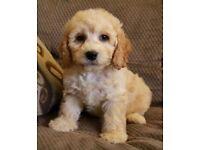 Beautiful Golden Cockapoo Puppies For Sale