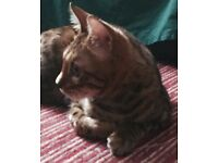 Pure bengal for sale (male)