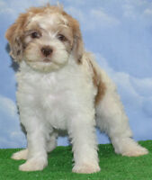 Cutest EVER Cockapoo puppies 4 left now
