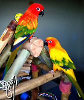 Couple Conure soleil RED FACTOR