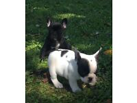 4 lovely French Bulldogs for sale!!!