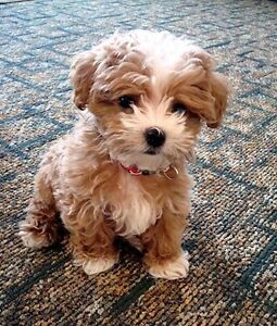 Looking for small or teacup puppy