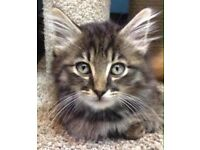 X Maine coon kittens long haired and short