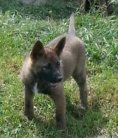 Akita German Shepherd Puppies