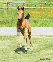 Rare Buckskin Anglo Arabian colt for sale