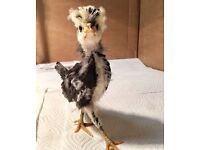 Young polish chickens for sale