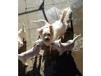 Adorable west highland terrier puppys