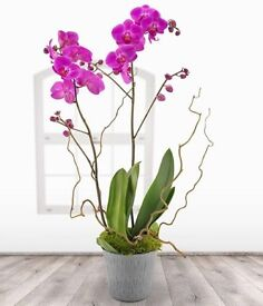 Used large pink orchids for sale