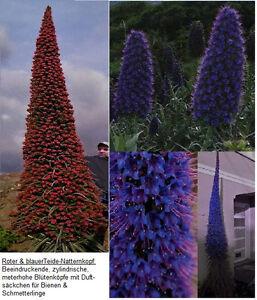 Riesen-Natternkopf-Samen-Set : Diese Blumen werden im Topf zu richtigen Bäumchen