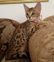 Magnificent female Bengal with beautiful markings