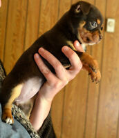 Gorgeous Chihuahua Puppies ALMOST READY TO GO