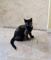 Wanted Female Tortoiseshell kitten