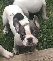 Blue French Bulldog Puppies - SPECIAL PRICE!!!!