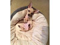Short hair Chihuahua puppy for sale