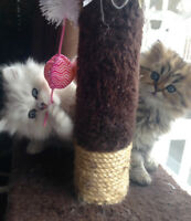 Chatons persan/exotic