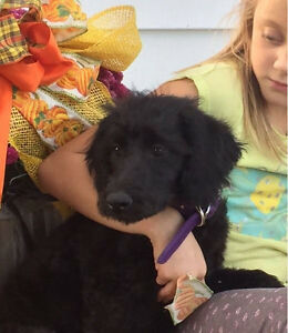 People Loving F1B Female Labradoodle Puppy
