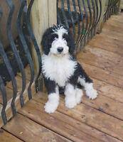 Bernedoodles pups for sale!!